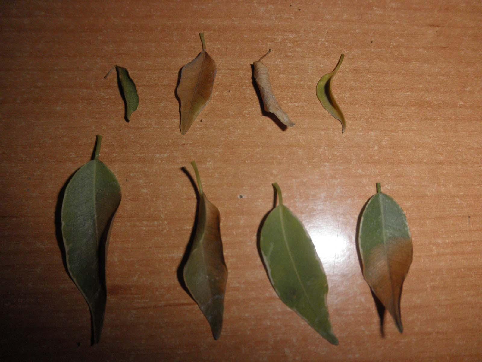 S.O.S. Ficus Benjamina 24fmow5