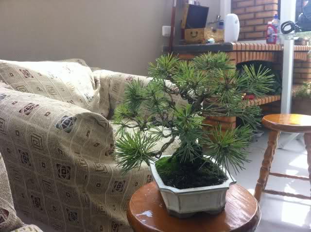 nuevo pino negro japones .thunbergii 2642liq