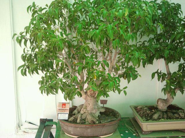 Venta de varios árboles no comerciales, ficus, olmos, higuera, granados, arce burgeriano, y morera. 2eaorxl