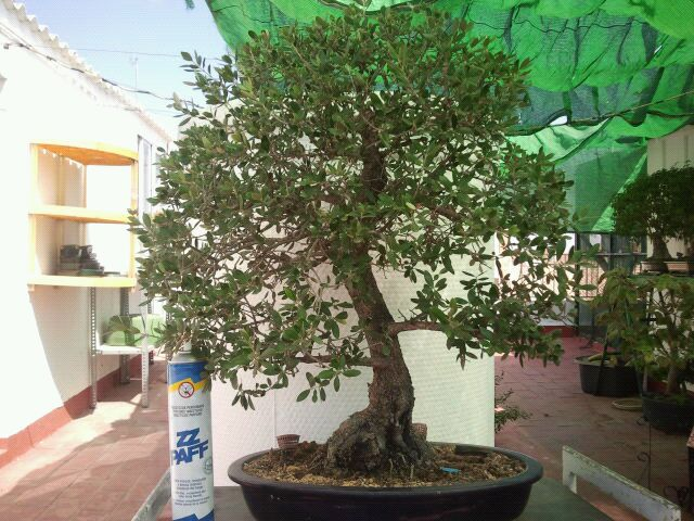 Venta de varios árboles no comerciales, ficus, olmos, higuera, granados, arce burgeriano, y morera. 2gxhb7n