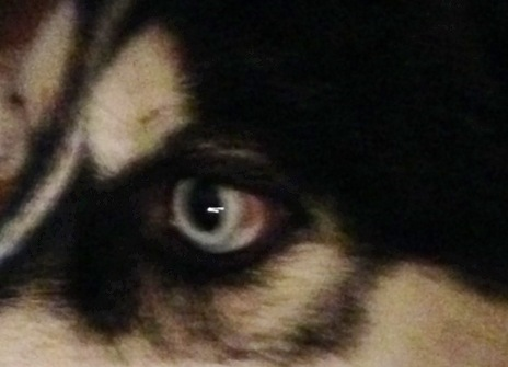 Red/brown spot in the corners of Husky's eyes? 2hq4jgk