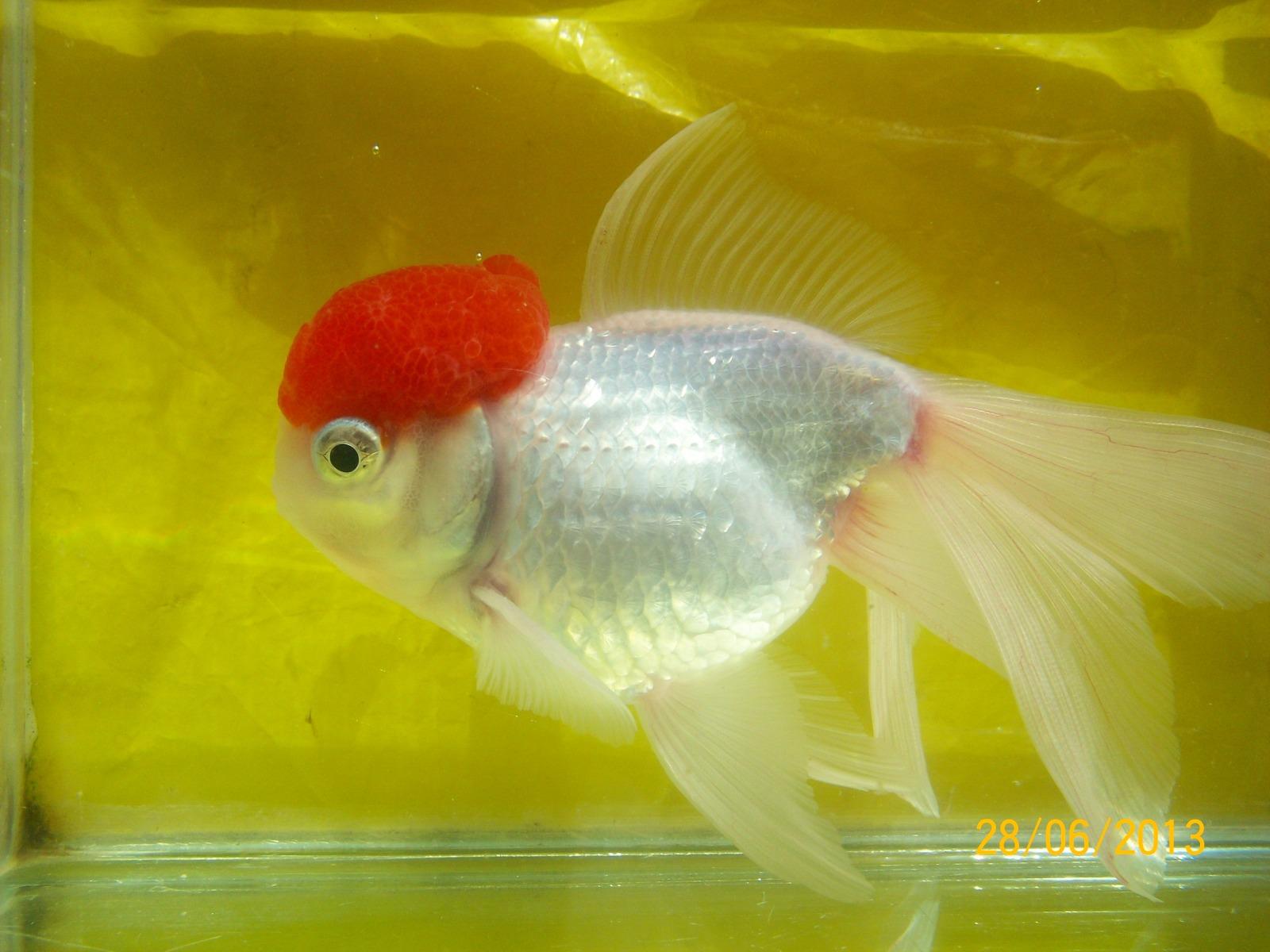 Mi goldfisfh boina roja se blanqueo 2mflfb