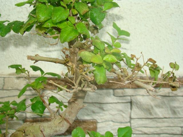 mi ligustrum me pierde hojas cada día 2w4z23k