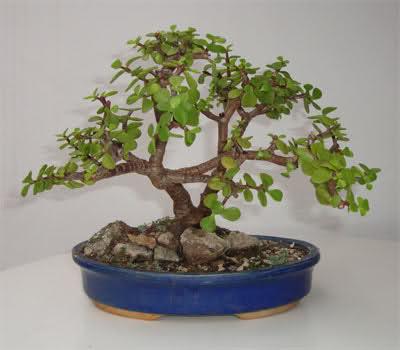 varios bonsais de mi coleccion 6f9nv7