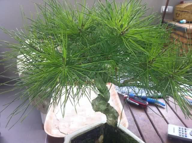 nuevo pino negro japones .thunbergii Auijhv