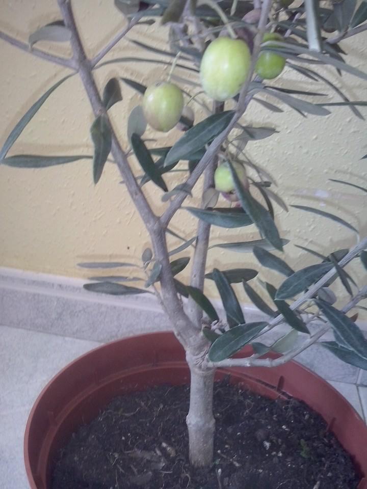 diseño de  olivo comprado en vivero Spgeb9