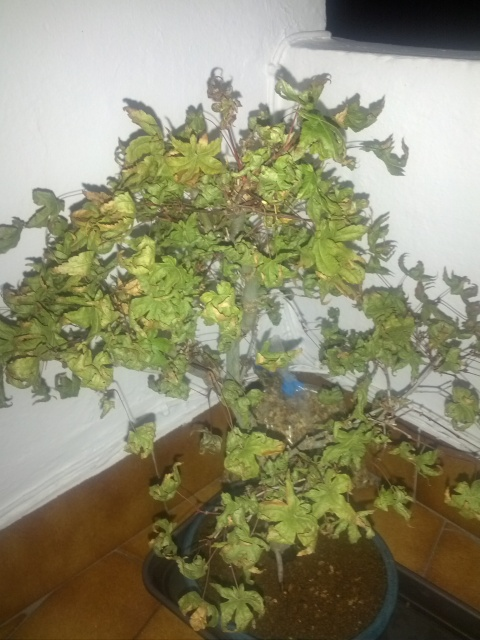 Acer deshojo con hojas secas, arrugadas. ¿Ayuda que hago? V3oupc