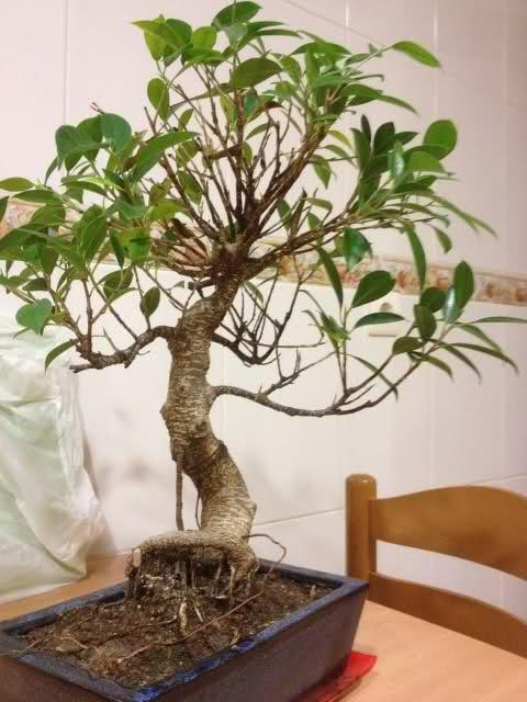 Se le caen las hojas a mi bonsai 20k39xd