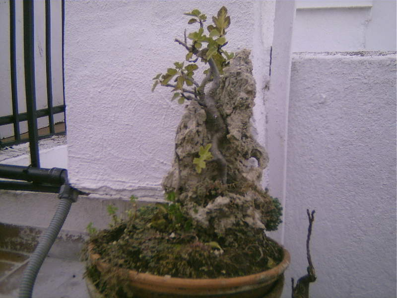 Bonsai sobre roca 2gws6mu