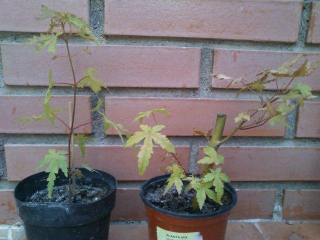 a. palmatum orange dream 2w3yhjt