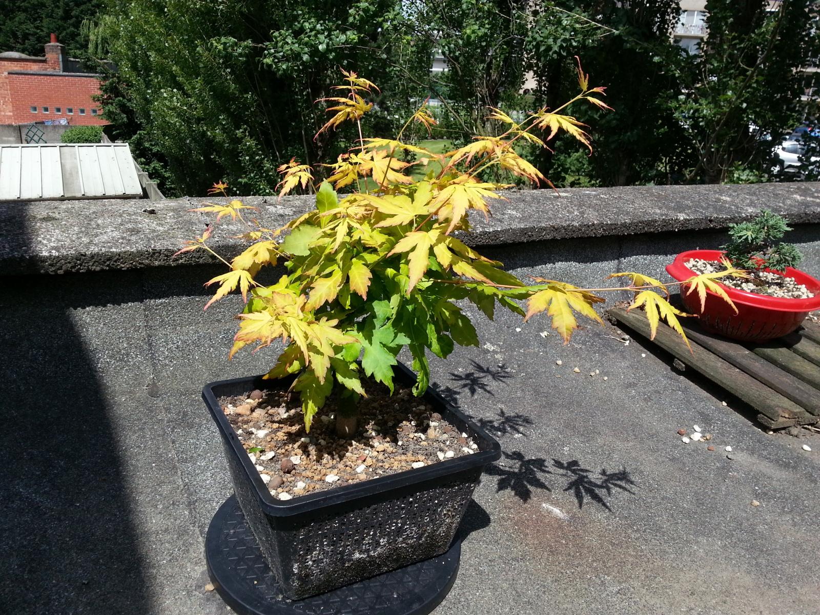 a. palmatum orange dream 2wfmxae