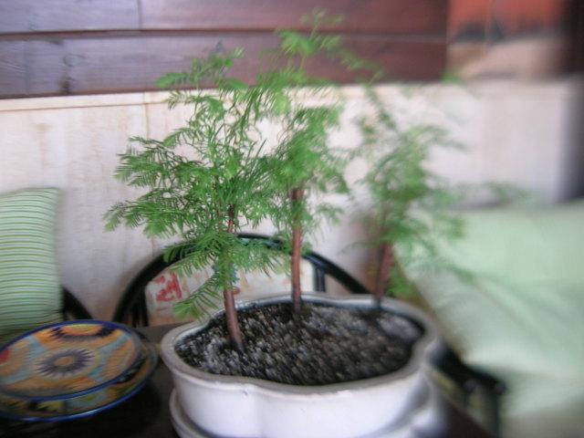 Secuoya - Secoya - Sequoia: 34rjh4z