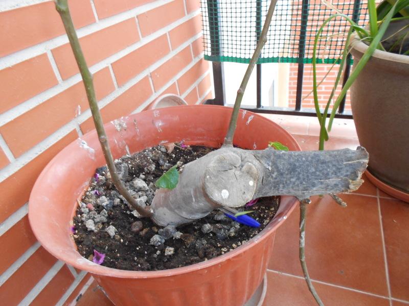 esquejón de higuera ¿sirve para bonsai? 71gznd