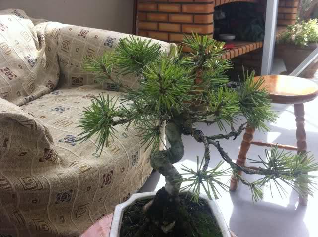 nuevo pino negro japones .thunbergii Abjl7o