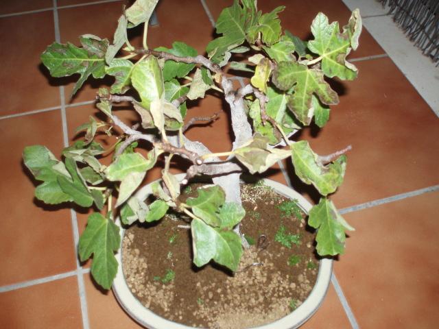 hojas higuera secas y arrugadas 143fa8h