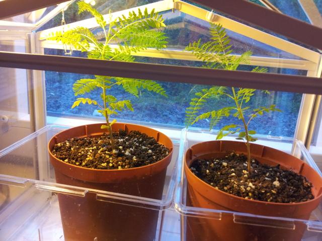 Growing a young Jacaranda 25a812p