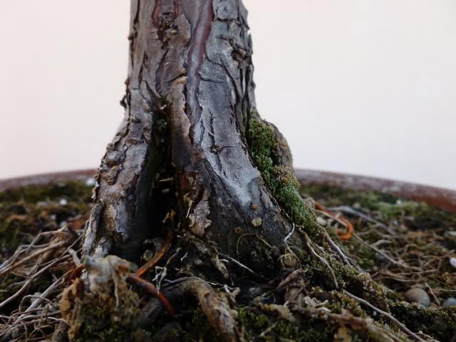 Plantón de Taxodium. Primeros pasitos... Chz47