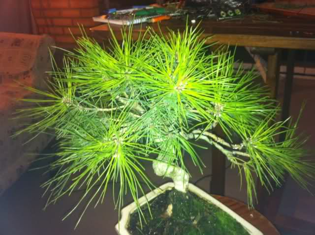 nuevo pino negro japones .thunbergii 125jivq