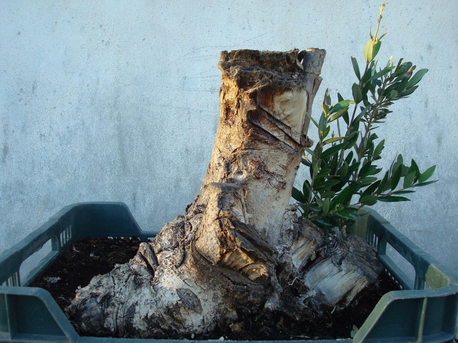 Mi primer yamadori: olivo 23mqvfd