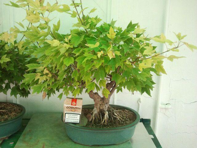 Venta de varios árboles no comerciales, ficus, olmos, higuera, granados, arce burgeriano, y morera. 2hdxgk2