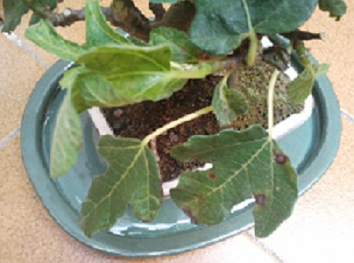 Higuera con manchas marrones en las hojas 2n022zd