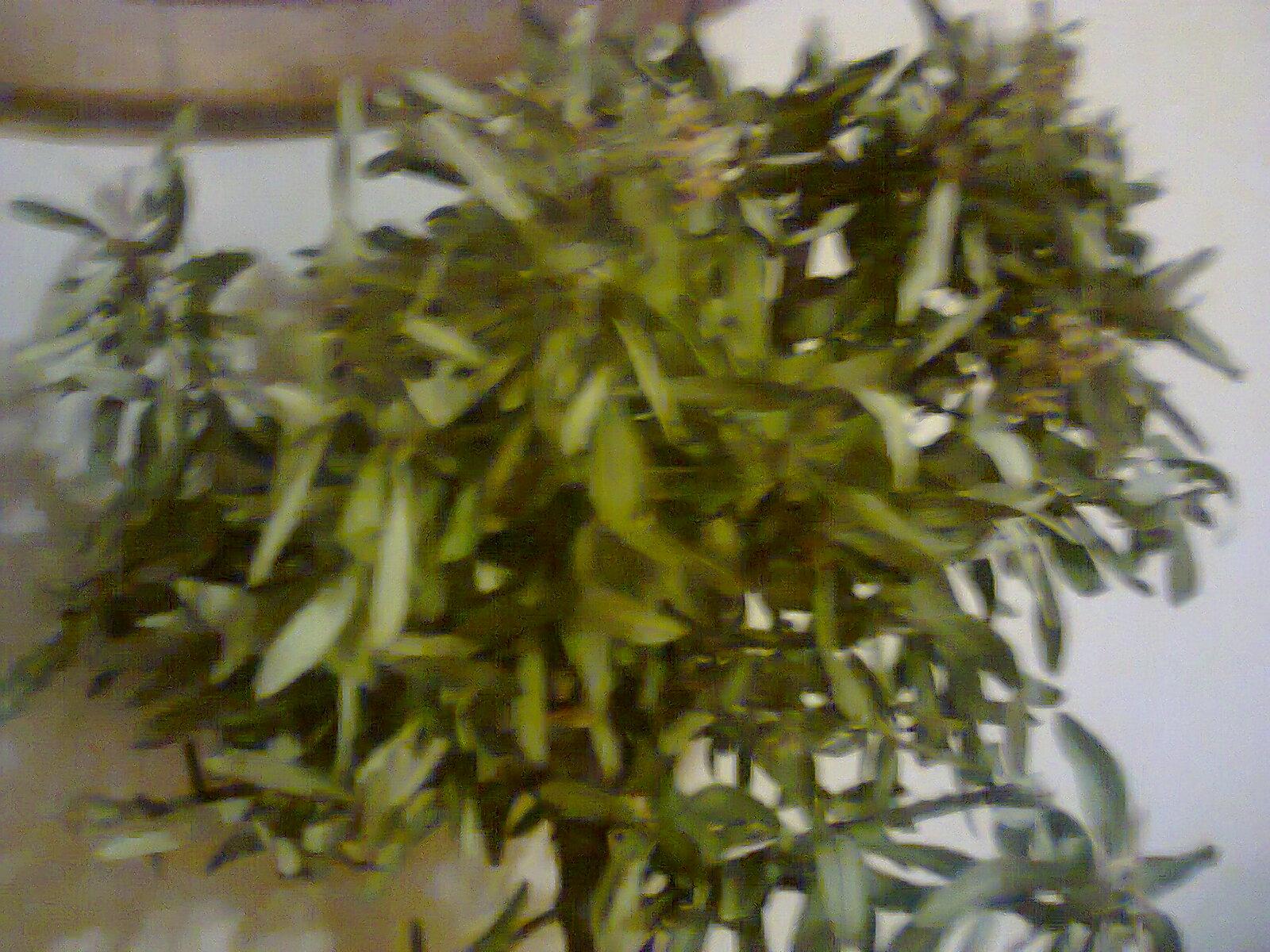 se secaron las hojas y se estan callendo , auxilio!!!! 344a42q