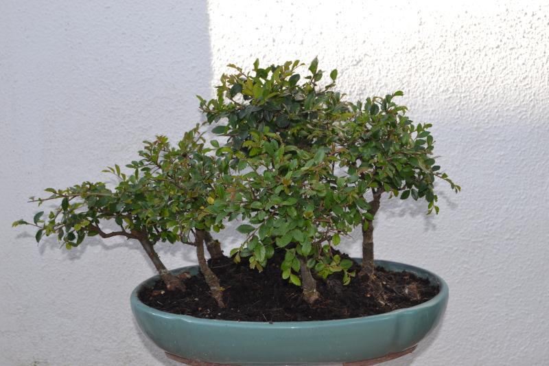 Bonsai sobre roca 54fvqc
