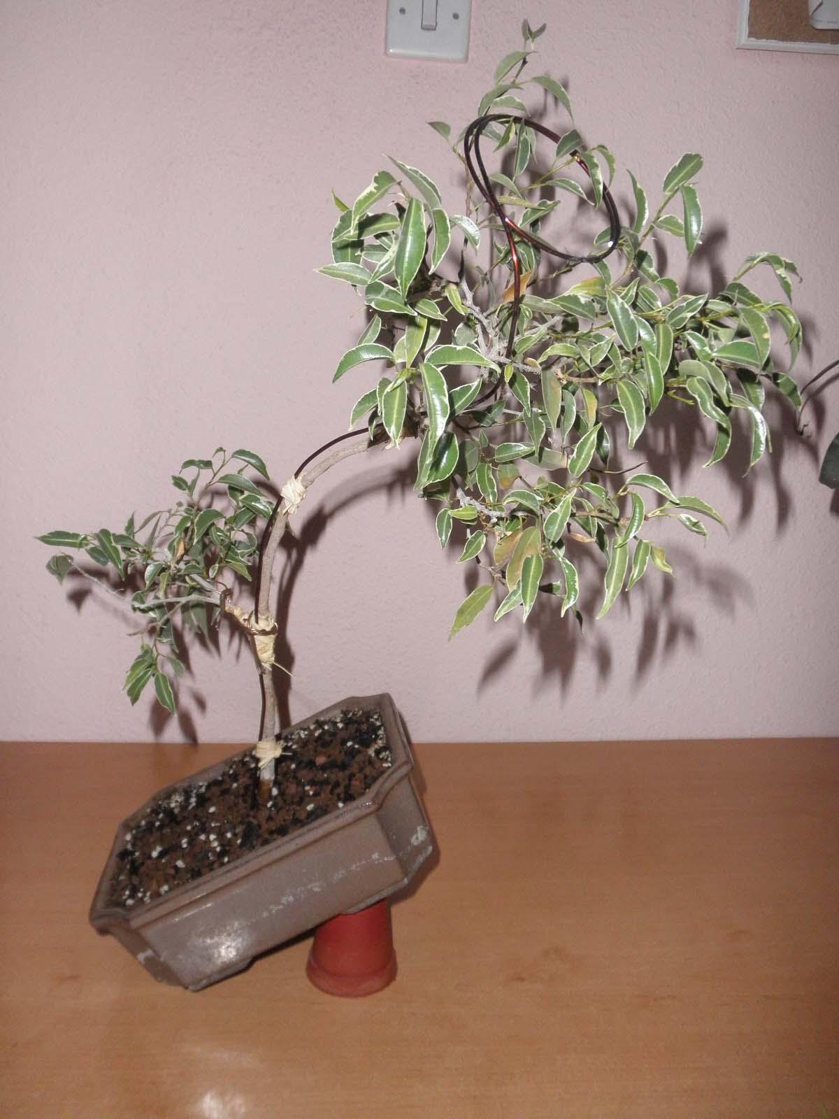 S.O.S. Ficus Benjamina Mafdzk