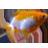 Goldfish y Kois