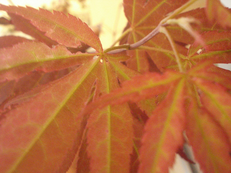 Acer palmatum , ¡HOJAS COMIDAS! 20hsqh5