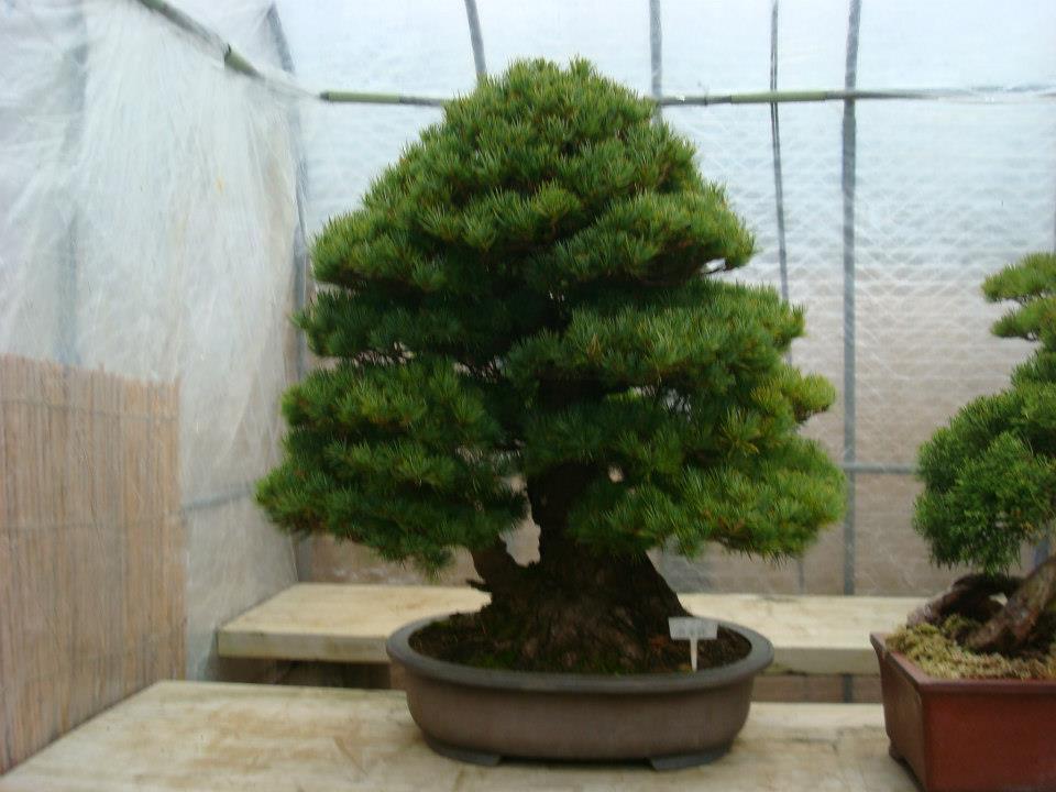 Presentación de los bonsais y la casa de Masahiko Kimura. - Página 2 25qfy9d