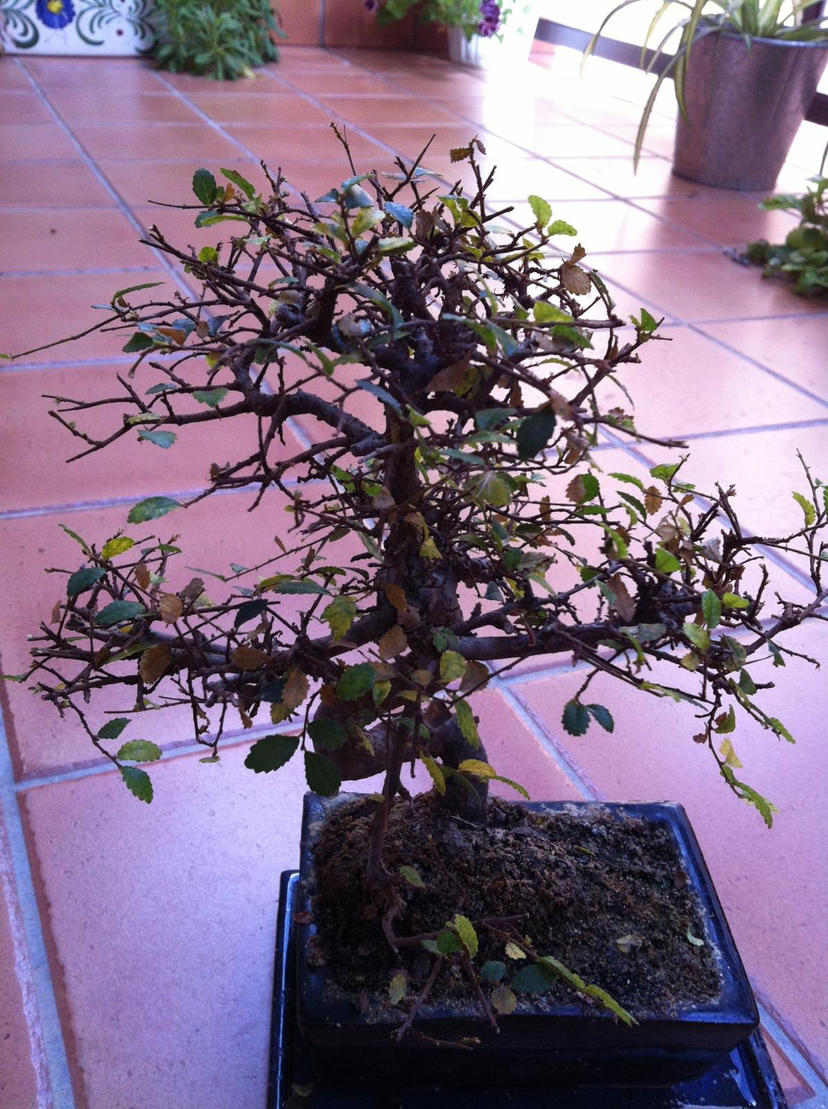 Olmo chino caida de hojas 295u3k1