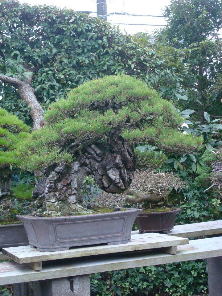 Presentación de los bonsais y la casa de Masahiko Kimura. - Página 2 2n7nm1t