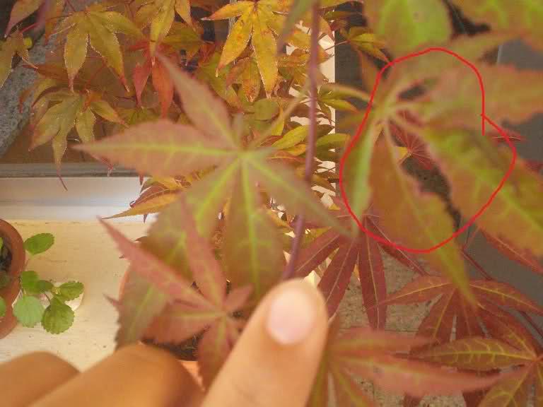 Acer palmatum , ¡HOJAS COMIDAS! 2rcbbt4