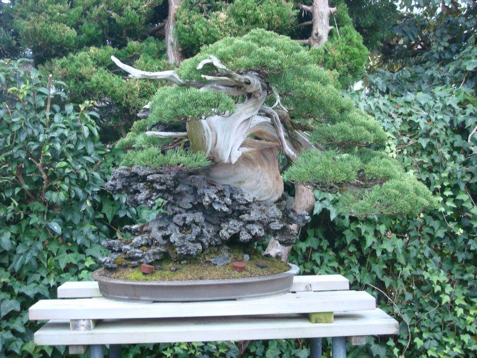 Presentación de los bonsais y la casa de Masahiko Kimura. - Página 2 5kiycm
