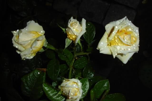 Los rosales de Gom Dw9hl3