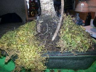 Posible infección en Ficus Retusa E9c21d