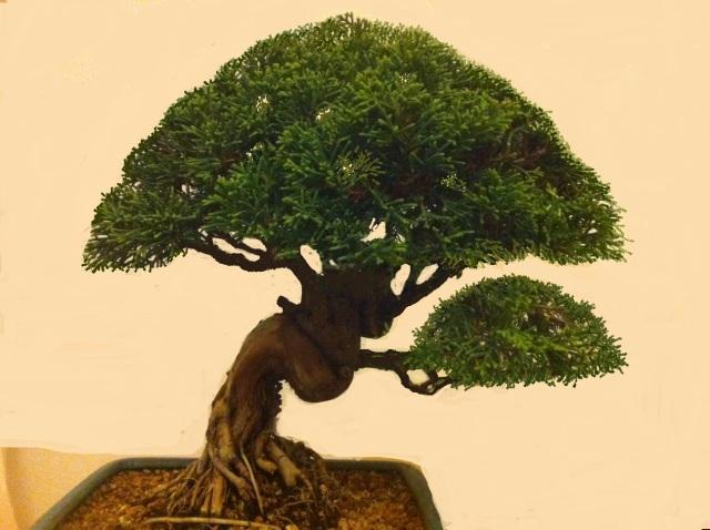 Poda y pinzado juníperus K4ilhg