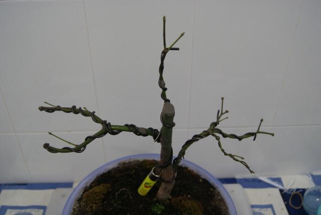 Arce palmatum atropurpureum/ Ahora trasplante 15dbgja