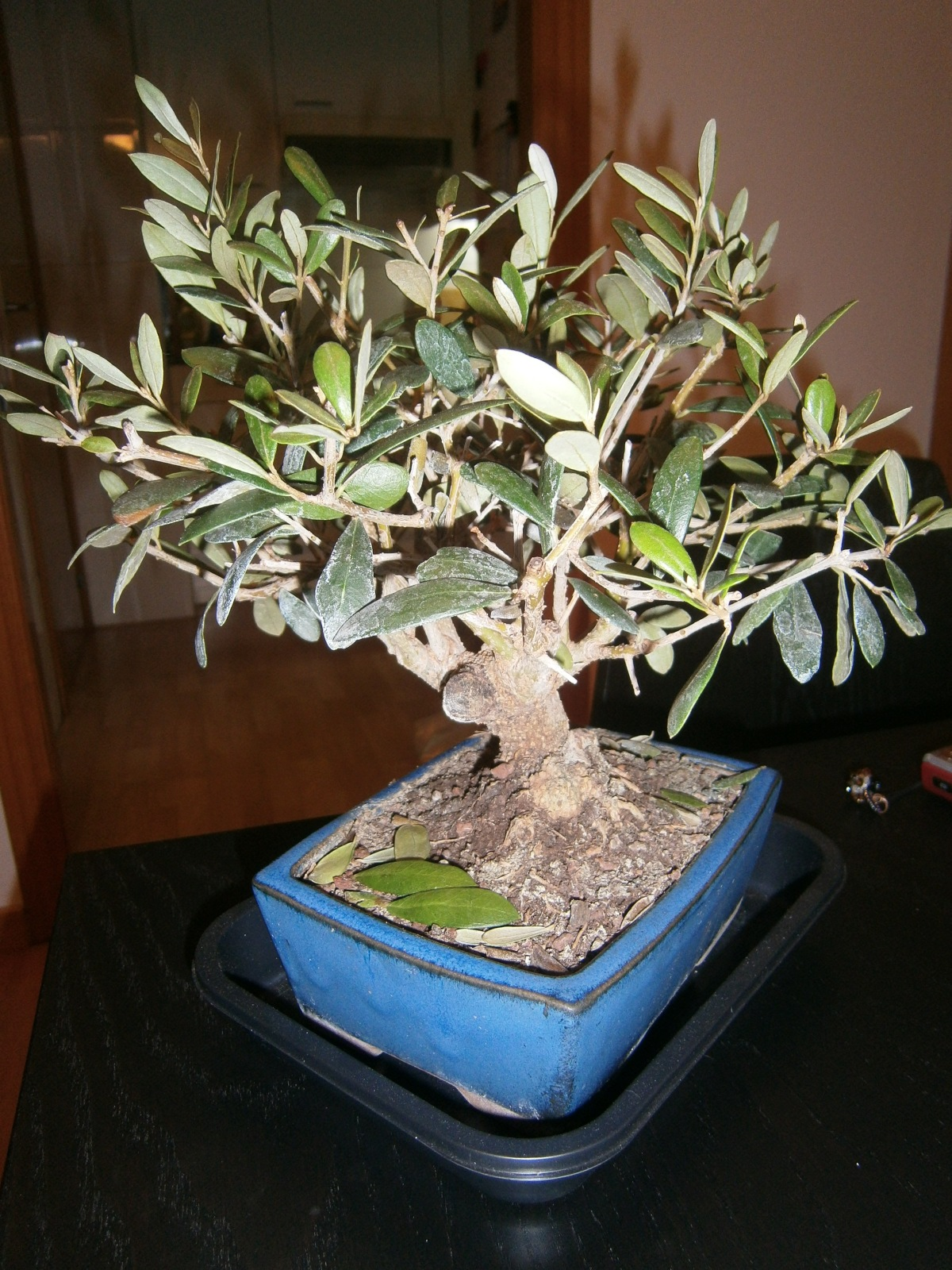 Caída de hojas - Bonsai Olivo 2912t5s