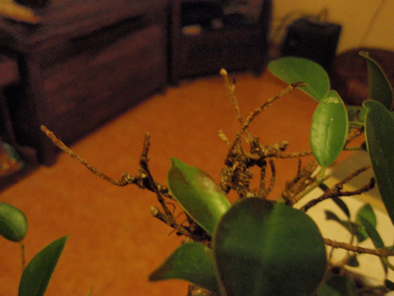 Hojas marrones en Ficus 2djzarr