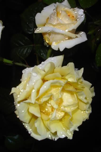 Los rosales de Gom 2ngwxzc