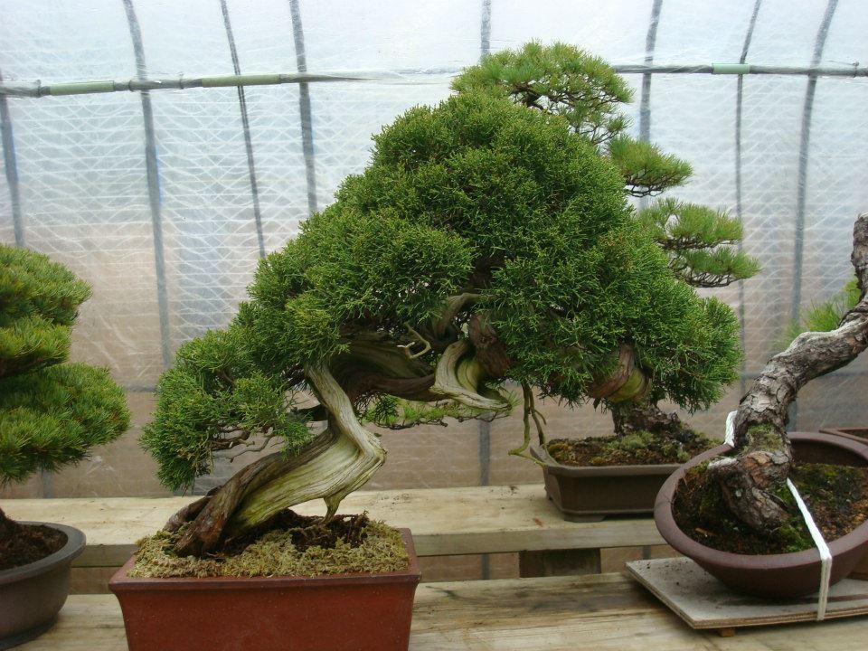 Presentación de los bonsais y la casa de Masahiko Kimura. - Página 2 2ymzloh