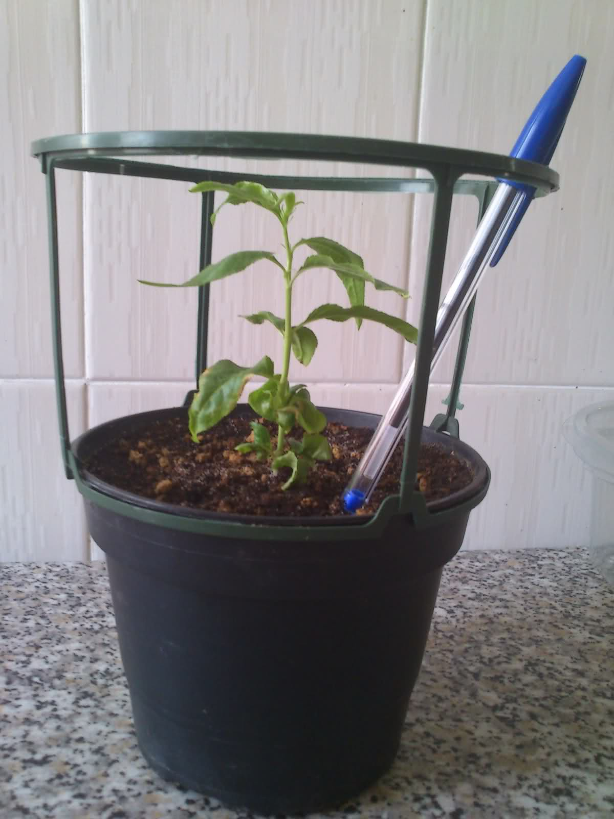 Evolución de semilla de almendro 34jcgg2