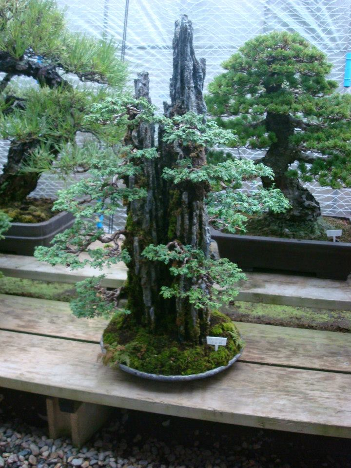 Presentación de los bonsais y la casa de Masahiko Kimura. - Página 2 352qbv4