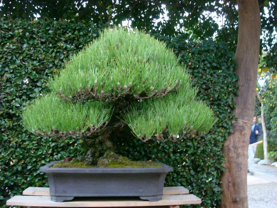 Presentación de los bonsais y la casa de Masahiko Kimura. - Página 2 4hdtom