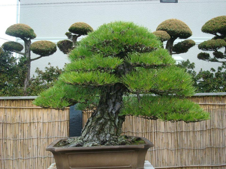 Presentación de los bonsais y la casa de Masahiko Kimura. - Página 2 E9u1ee