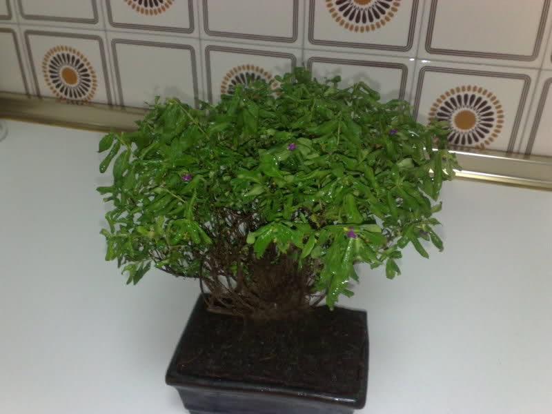 AYUDAAAAAA bonsai cuphea muerto??? S3q3yb