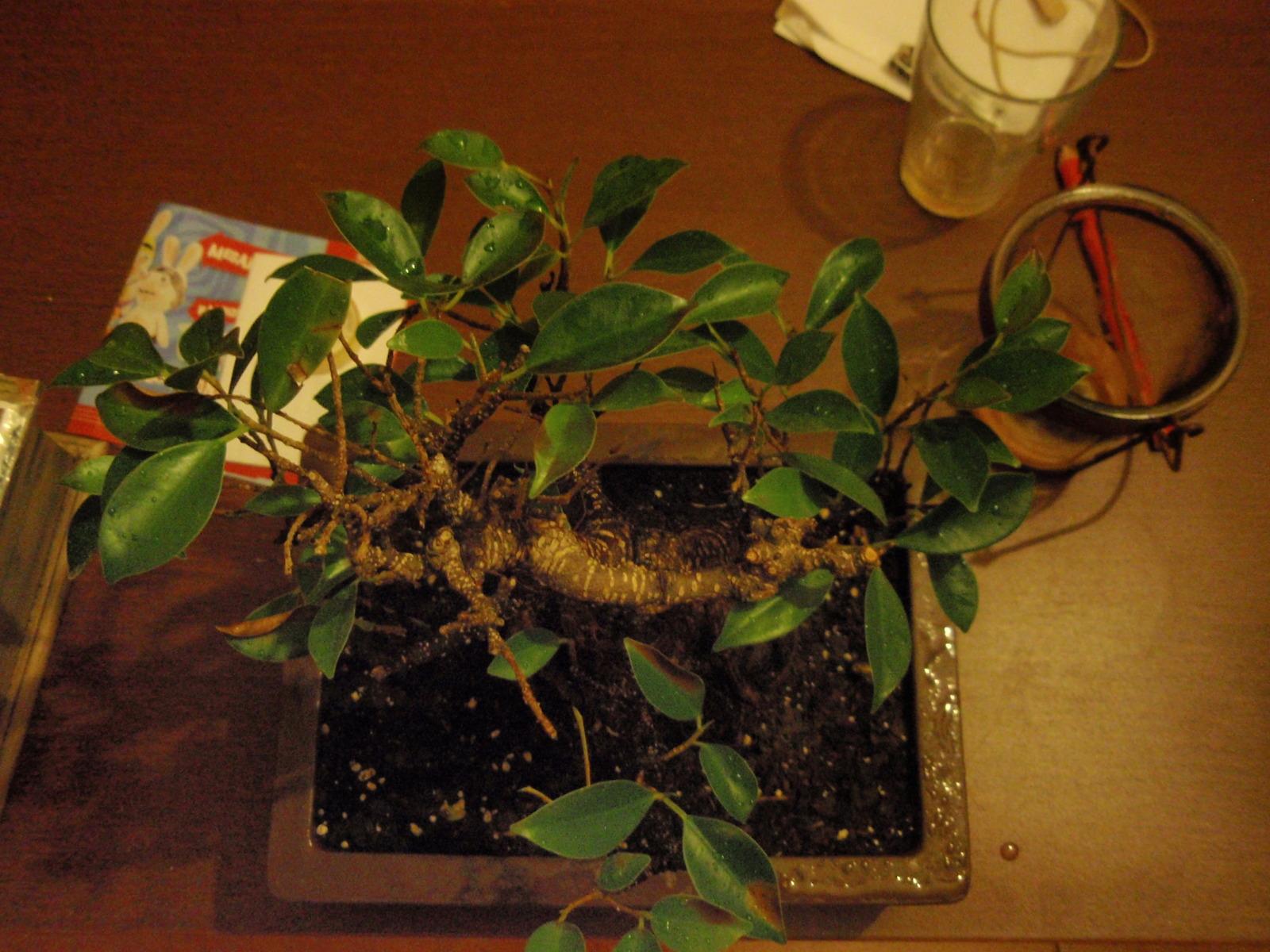 Hojas marrones en Ficus Zmfmsm