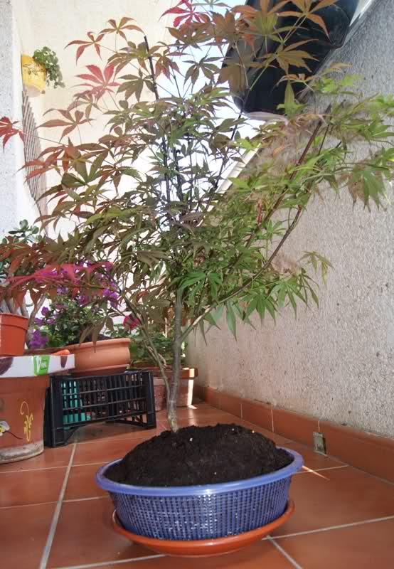 Arce palmatum atropurpureum/ Ahora trasplante 117r8ua